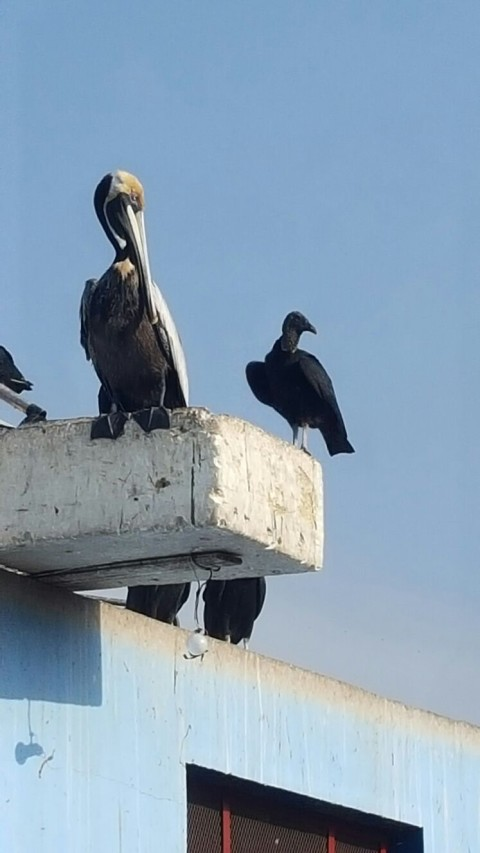 Vultures and pelicans make odd bedfellows